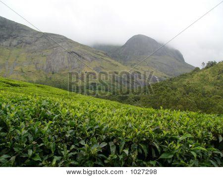 Tea Plantation Estate