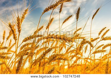Ripe Wheat On A Sunny Summer Day