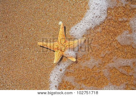 Seastar on the edge of water and sandy coast