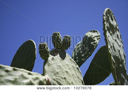 Cactus Against A Blue Sky