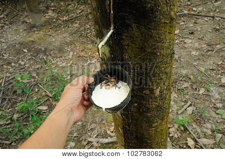 Hand holding rubber trees or Hevea brasiliensis milk collector cup