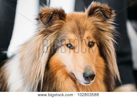 The Shetland Sheepdog, often known as the Sheltie, Collie, is a breed of herding dog. They are vocal, excitable, energetic dogs who are always willing to please and work hard. poster