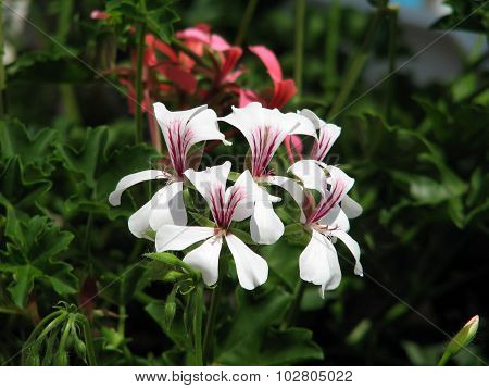 Flowering geraniums