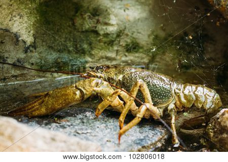 Wild Signal crayfish is sitting on a stone. Russian nature poster