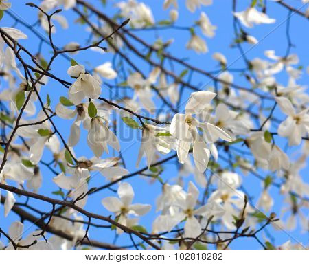 White Magnolia Flower