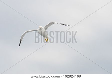 European Gull In Flight