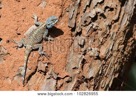 A Male Agama Lizard Resting On A Tree Infested With Termites