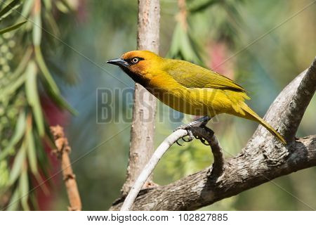 Spectacled Weaver (ploceus Ocularis) Perched On A Curved Bough