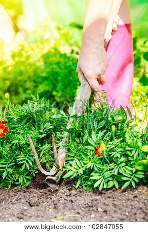 Closeup Female Hands Holds Spade Replanting Flowers