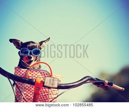 small dog in sunglasses or goggles sitting in bicycle basket licking his nose toned with a retro vintage instagram filter app or action effect