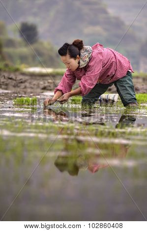 Chinese  peasant woman planting rice seedlings in flooded rice field.