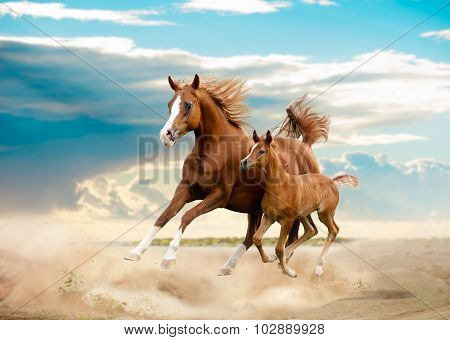 Arab Mare And Foal Running In Desert
