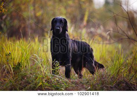 Black Retriever Stands Among Autumn Grass