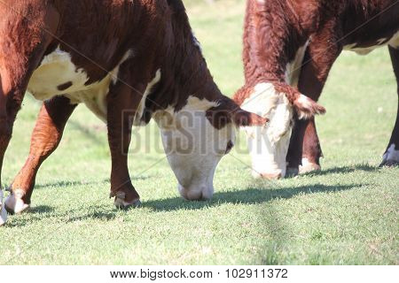 Cows-Hereford