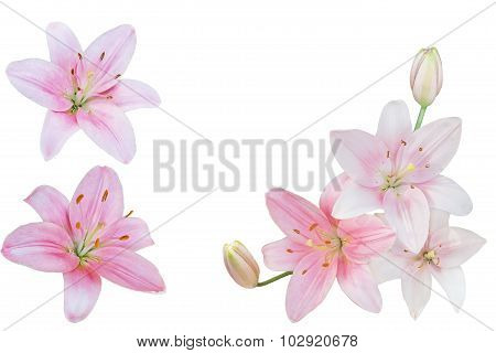 Pink Lily Colleage
