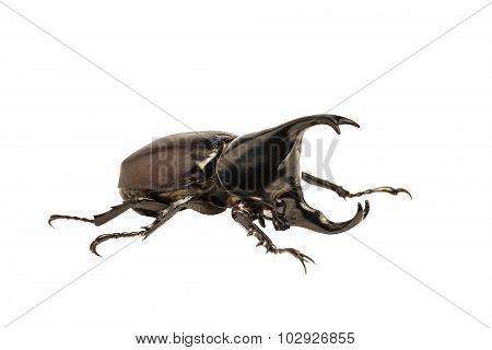 Male Rhinoceros Beetle, Rhino Beetle, Hercules Beetle, Unicorn Beetle, Horn Beetle Isolated