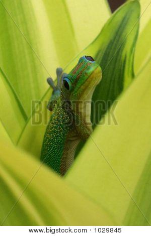 Hide And Seek Gecko