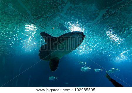 Deep-sea Fish, Moon Fish
