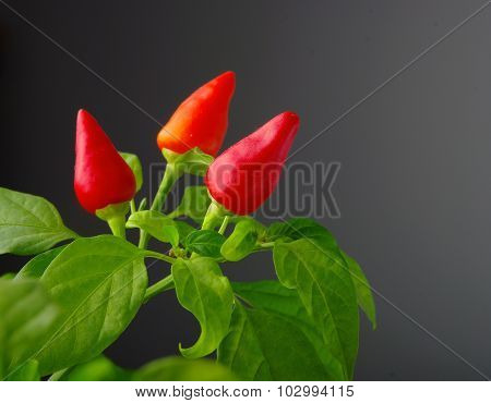 Red hot  chilli peppers as the fruit of the mother plant