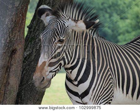 Grevy's Zebra (equus Grevyi )