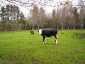 two beef cattle grazing in green field,new Germany Lynchburg county nova Scotia Canada poster