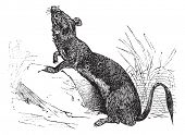 Stoat (Mustela erminea) or Ermine or short-tailed weasel in summer pelt vintage engraving. Old engraved illustration of Ermine in summer pelt. Trousset encyclopedia (1886 - 1891 poster