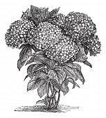 Bigleaf Hydrangea or Hydrangea macrophylla or French Hydrangea or Lacecap Hydrangea or Mophead Hydrangea or Penny Mac or Hortensia, vintage engraving.Trousset encyclopedia (1886 - 1891). poster