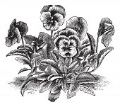 Heartsease or Viola tricolor or Johnny Jump Up or Wild Pansy, vintage engraving. Old engraved illustration of Heartsease. Trousset encyclopedia (1886 - 1891). poster