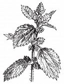 Stinging nettle or Nettle or common nettle or Urtica dioica, vintage engraved illustration. Dictionary of words and things - Larive and Fleury - 1895. poster