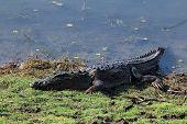Mugger Crocodile (Crocodylus Palustris aka Mugger March Crocodile) Lying on the Lakeside. Ranthambhore Rajasthan India poster