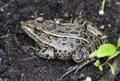 Frog. Bufo true toads or western toad in the garden. poster