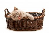 funny lilac british kitten in a basket its yawning isolated on white background poster