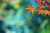 Beautiful colors of autumn. Red Japanese maple with blue green bokeh background. Colorful spectrum of autumn colors. Shallow depth of field. poster