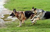 two alsatian dogs playing free and running towards water poster