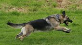 alsatian running free and leaping for pleasure as he exercises poster