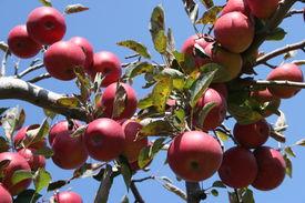 Apples Hanging