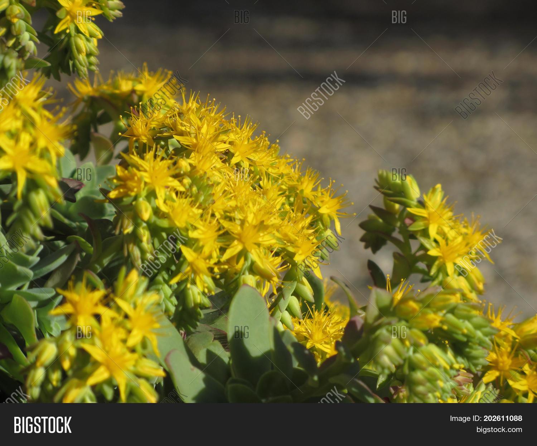 Yellow Flowering Sedum Image Photo Free Trial Bigstock