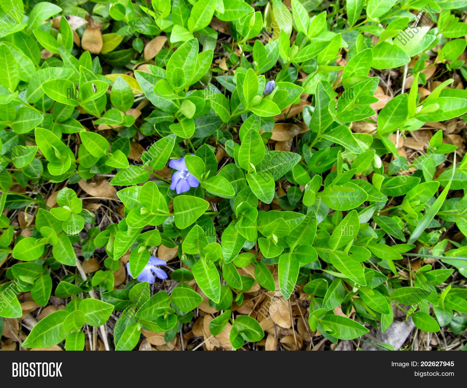 Floral green juicy image photo free trial bigstock floral green juicy background of a creeping plant of the vinca minor with two blue flowers izmirmasajfo
