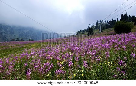 Shymbulak in summer, blooming Sally flowers and cableway, Almaty, Kazakhstan