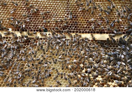 Honey bees on honey beehive frame with honey uncovered