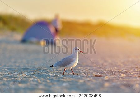 Seagull standing on his feet on the beach at sunrise. Close up view of seagull walking by the beach against tent on a beach background. Tourism concept leisure at sea summer time