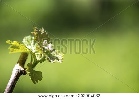 nature image showing a newly formed grape vine enhanced by the sunlight on a green blurred background to aid copy space and text