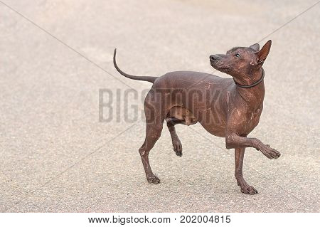 A levretka, or a small Italian greyhound - is the shortest dog from the Greyhound group. Space under the text. 2018 year of the dog in the eastern calendar Concept: friend, protection, loyalty, vigilance, security