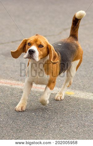 Hunting dog runs to the camera close-up. Space under the text. 2018 year of the dog in the eastern calendar Concept: friend, protection, loyalty, vigilance, security