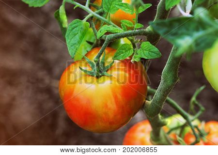 Ripe organic red tomatoes in garden ready to harvest .