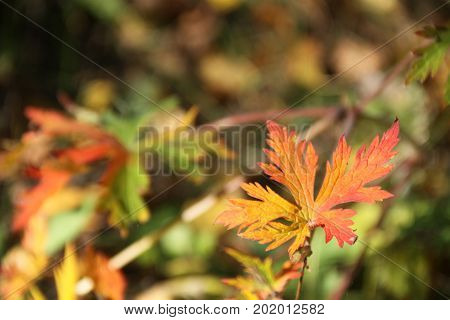 Red autumn leaves in forest, Russian weekend.