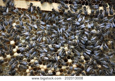 Honey bees in beehive wax frame of sealed brood poster