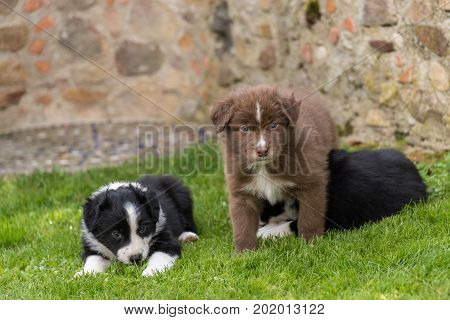 Three dog puppies tired yet curious in the meadow - australian shepherd