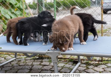 Several puppies playing on a sunlounger - close-up australian shepherd