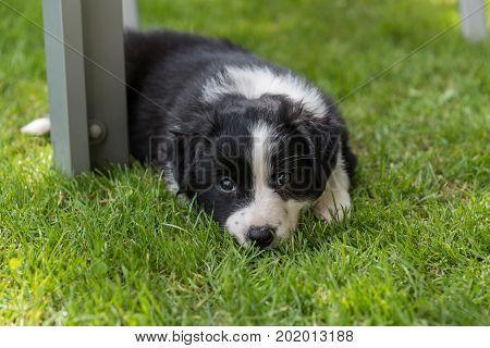 Australian Shepherd puppy is tired in the meadow